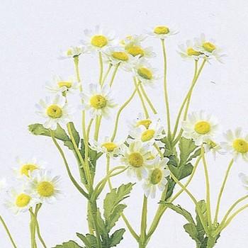 アスカマトリカリアホワイトグリーン.jpg